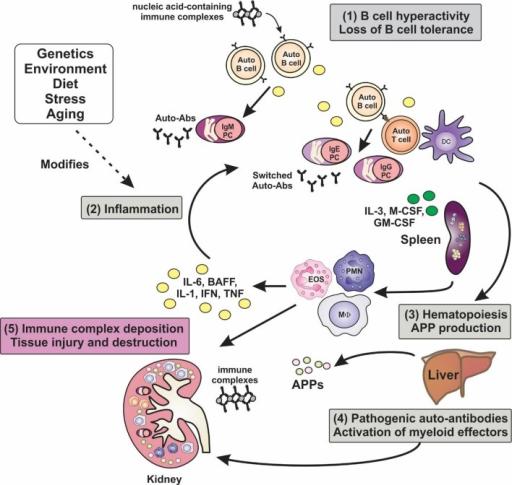 pathophysiology of systemic lupus erythematosus pdf